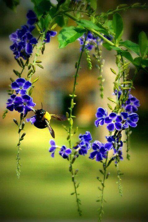 Honeybee drinking off the hanging purple flowers