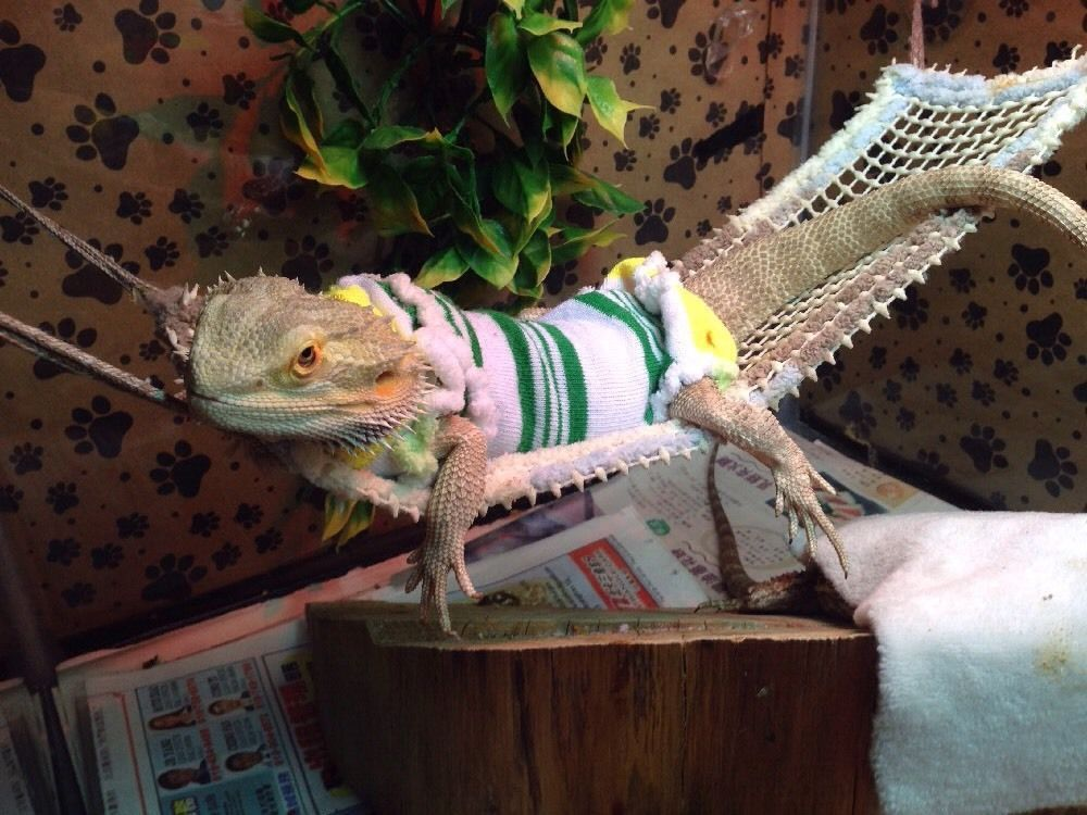 PRE MADE SLEEVELESS BODY SHIRT WITH MATCHING HOODIES FOR JUVENILE BEARDED DRAGON | eBay