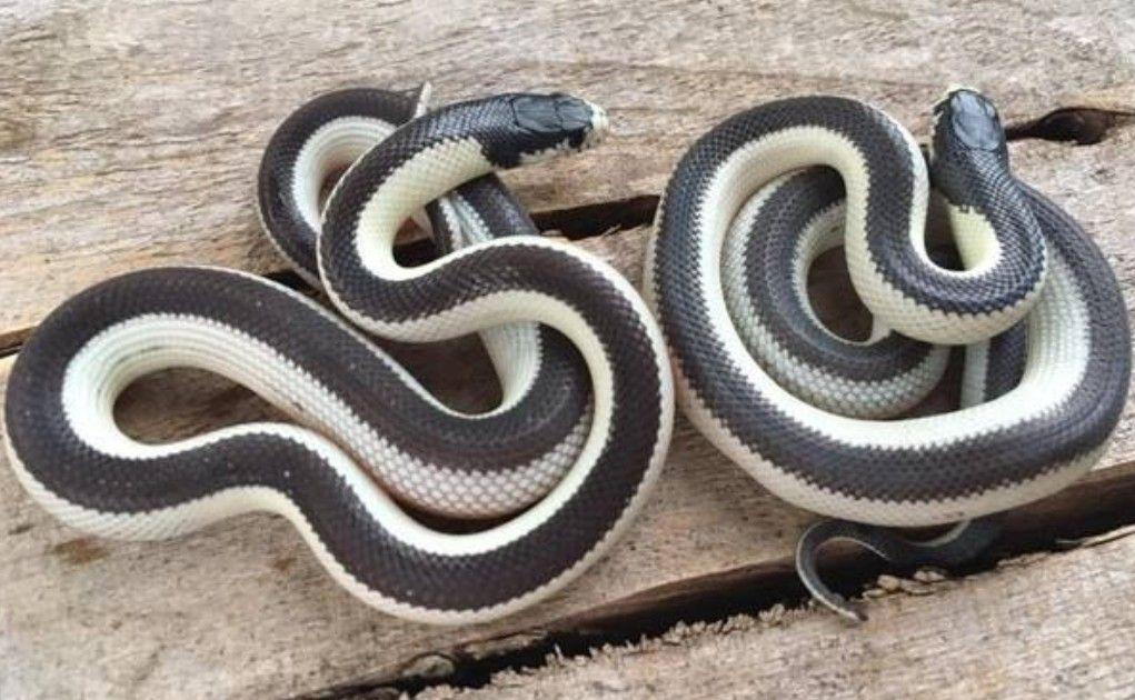 California Kingsnake California king snake, Pet snake