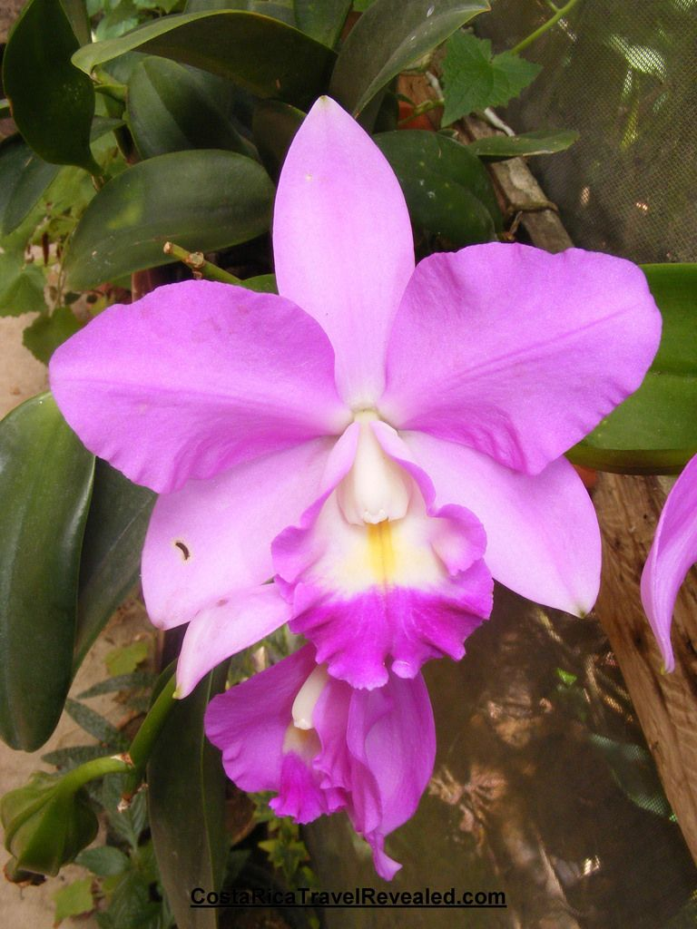 The Purple Orchid National Flower Of Costa Rica Purple Orchids Flower Art Birth Flowers