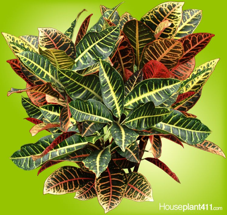 Stem Cuttings, Air Layering Best Way To Propagate Croton #houseplants.  Leaves Can Be
