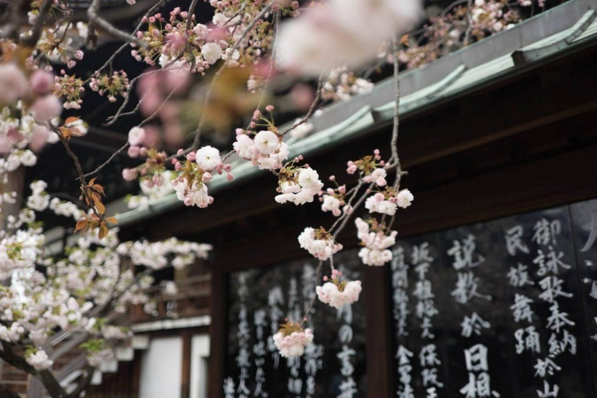 Everything You Need To Know To Plan Your Trip To Japan Japanese Cherry Blossom Cherry Blossom Festival White Cherry Blossom