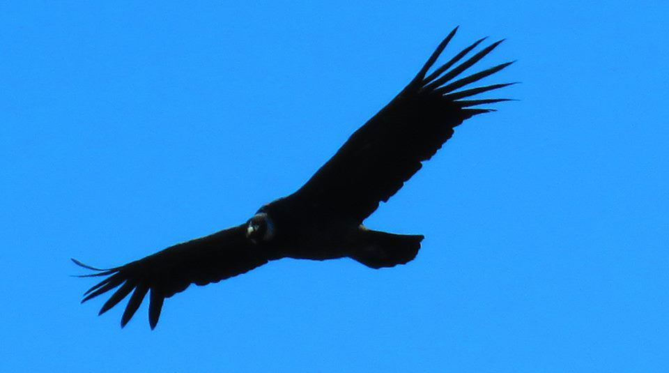 Andean Condor, wingspan of 10 feet!  This is taken in Torres Del Paine National Park in Southern Patagonia, Chile. Photo by Dennis Murphy.