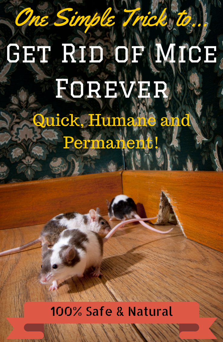 How to Get Rid of Mice Quickly and Naturally FREE Guide Mice