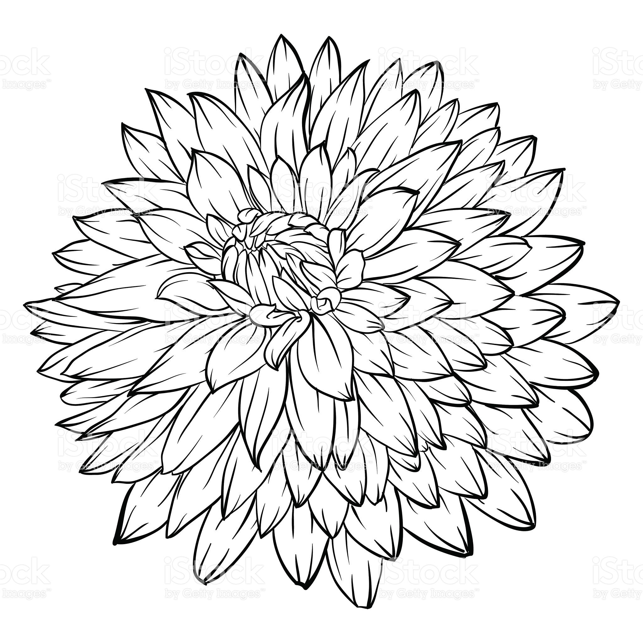 Beautiful Monochrome Black And White Dahlia Flower Isolated On Flower Line Drawings Floral Drawing Flower Drawing