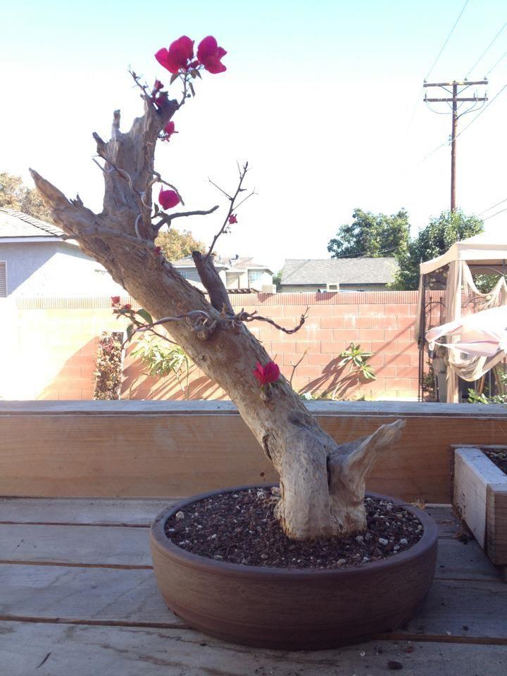 bougainvillea bonsai progression recovering after a brutal summer rh pinterest com Azalea Bonsai Wisteria Bonsai