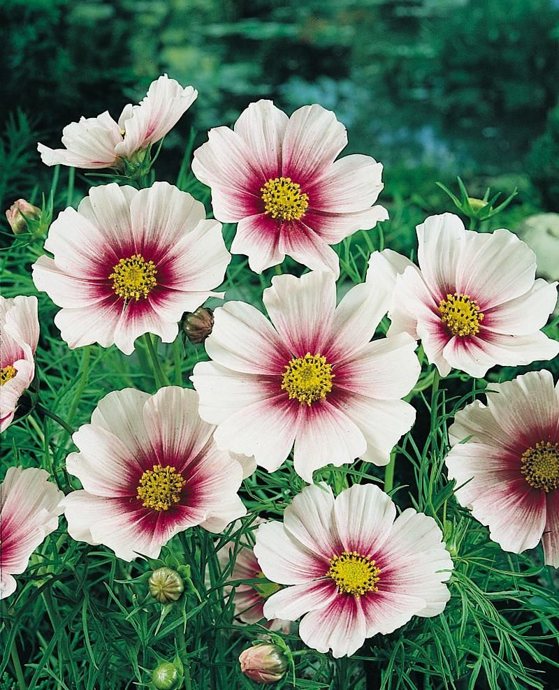 White cosmos flowers and plants miscellaneous beauty white cosmos mightylinksfo