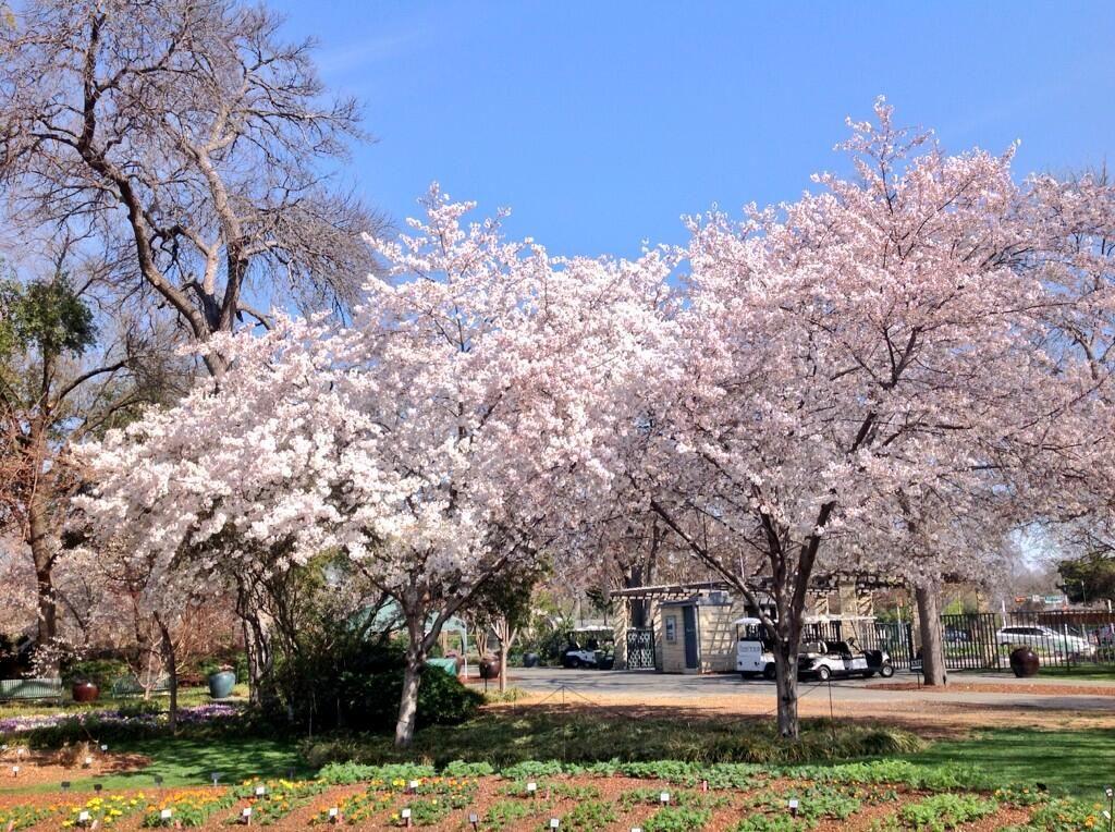 Dallasarbplanttrials On Twitter Dallas Arboretum Cherry Blossom Tree Arboretum