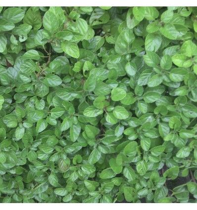 This well known culinary herb is a wonderful ground cover and companion plant to many, especially brassicas where it helps repel the white cabbage butterfly.