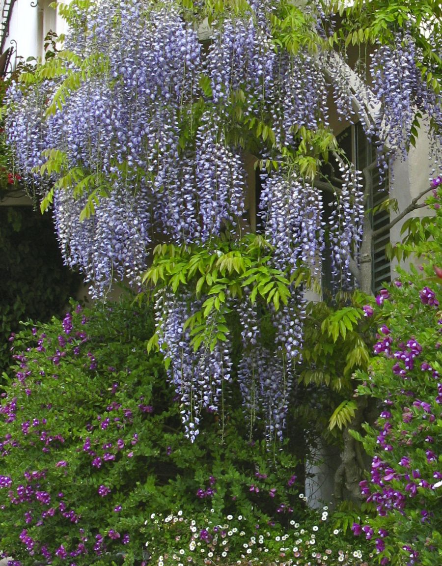 And Wisteria