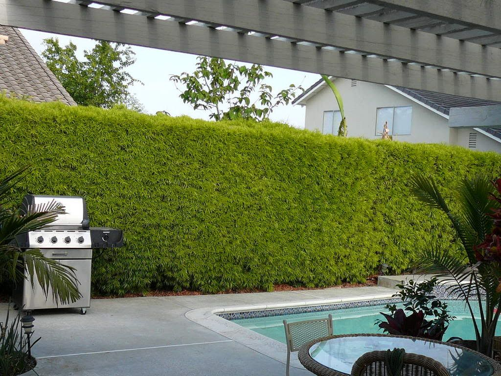 using podocarpus fern pine as a privacy screen, gardening, landscape,  outdoor living