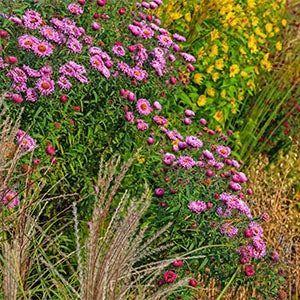 Bulk Perennials - American Meadows#american