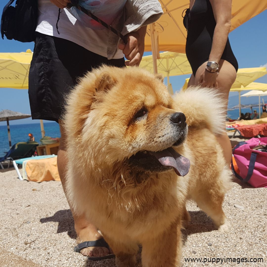 Chow Chow On The Beach Chow Chow Puppies Best Dogs For Families