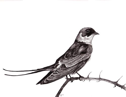 http://gillianposs.tumblr.com/#  Barn swallow. Pen and ink.