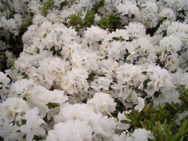 When To Prune Shrubs Pruning Burning Bush Azaleas Wiegela Red Twig Dogwood And Spirea Planting Flowers Azaleas Shrubs