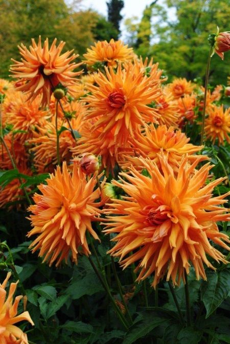 Dahlia Eclatant Dahlien Sommerpflanzen Bluhende Pflanzen