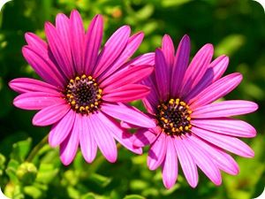 Aster flower pictures funny pictures pinterest aster flower aster flower pictures mightylinksfo
