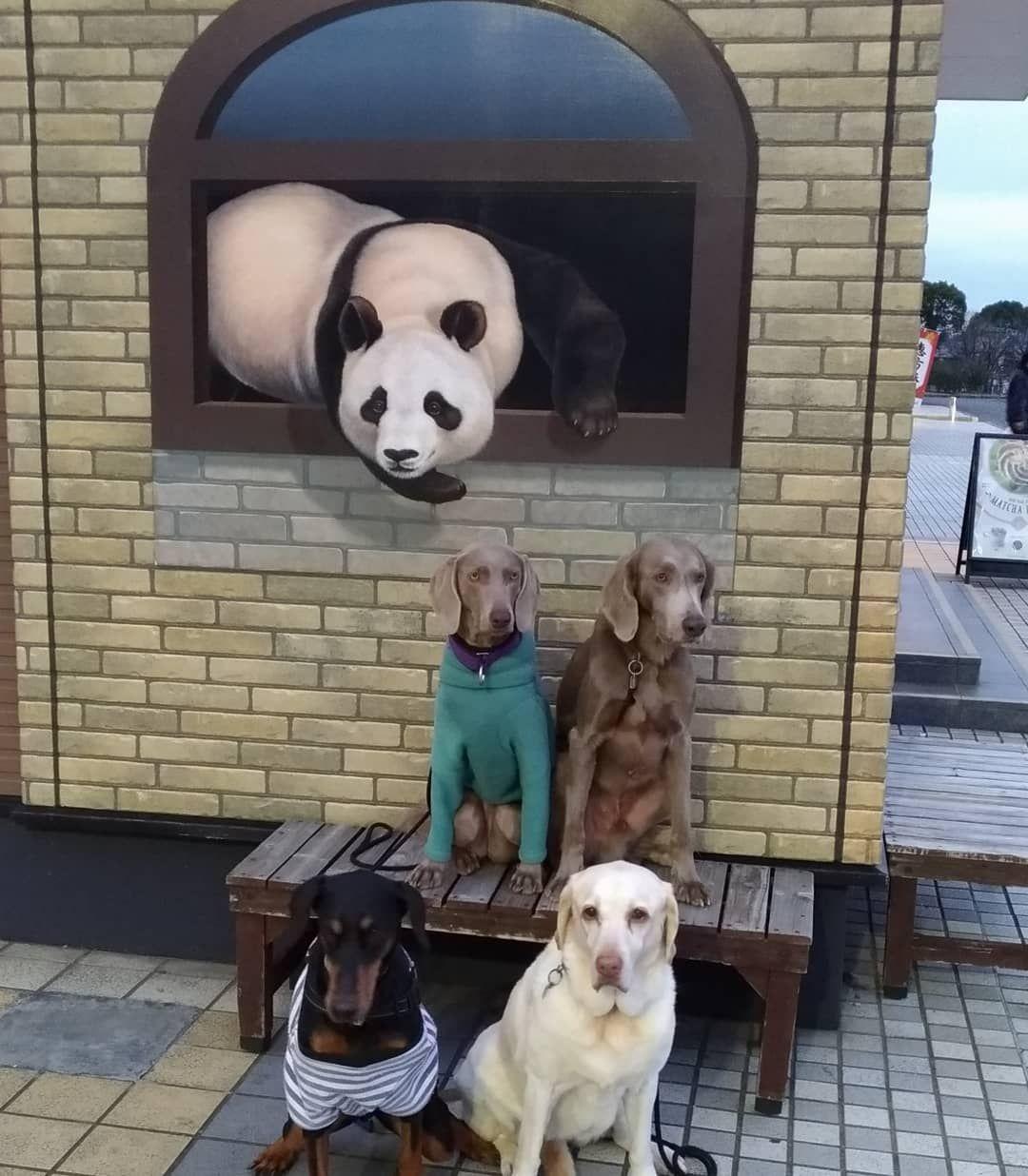 上郷saにて ラブラドールレトリバー ラブラドール イエローラブ ワイマラナー ワイマラナーロングヘアード ワイマ ドーベルマン 大型犬のいる暮らし Labradorretriever Labrador Lab W Doberman Animals Dogs
