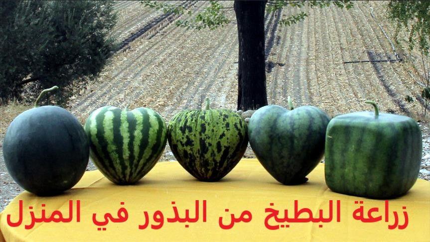 زراعة البطيخ من البذور Watermelon Fruit