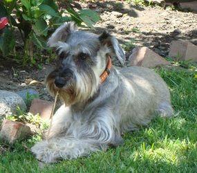 Adopt May On Petfinder Schnauzer Dogs Schnauzer Fanwood