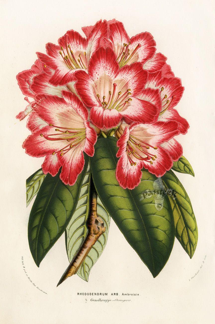 Louis van Houtte Flore des Serres 1858   ID peinture   Pinterest ...