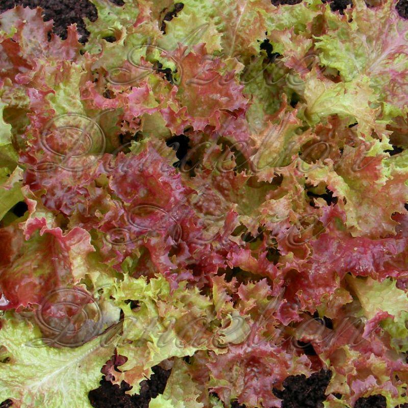 Lettuce Lollo Rossa Vegetable Seeds