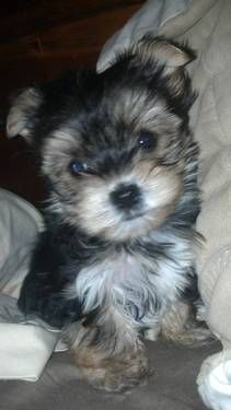 Tiny Adorable Morkie Girl Yorkie Maltese Hybrid Morkie Dogs