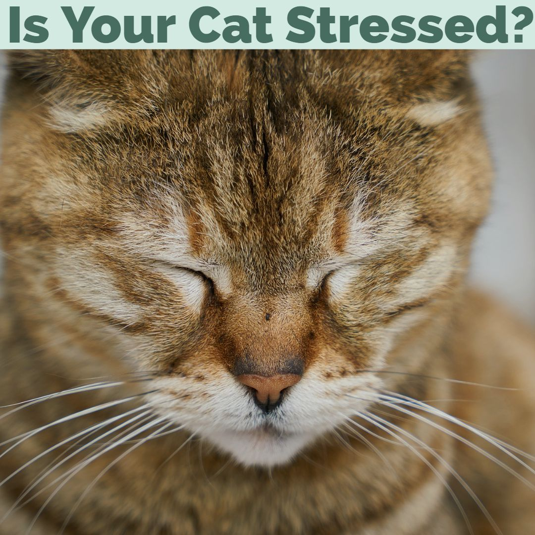 Could your cat be stressed? While kitties are masters at