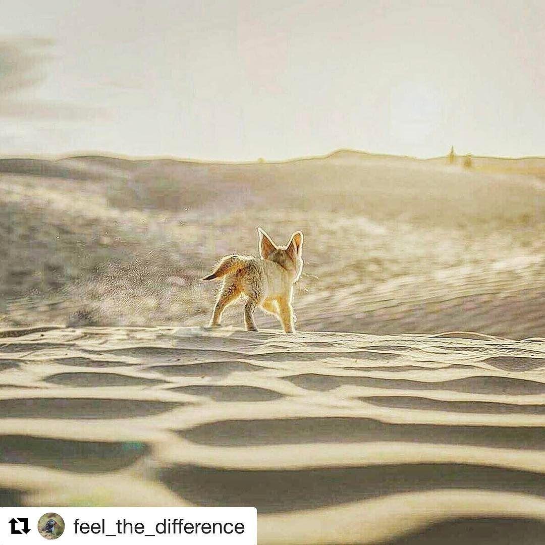 Blant Saharas sanddyner. #reiseliv #reisetips #reiseblogger #reiseråd  #Repost @feel_the_difference  Fennec explores Sahara desert #travel #photooftheday #igers #picoftheday #sahara #tunisia #happy