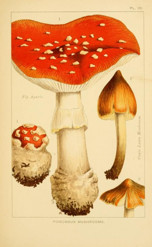 Poisonous Mushrooms. Edible and poisonous mushrooms: what to eat and what to avoid London,Society for Promoting Christian Knowledge,1894. Biodiversitylibrary. Biodivlibrary. BHL. Biodiversity Heritage Library
