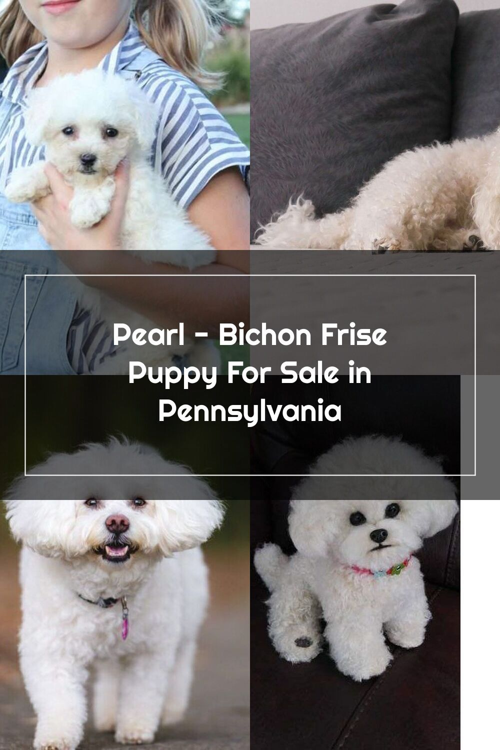 Pearl Bichon Frise Puppy For Sale in Pennsylvania in