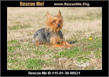 F8028gale Female Yorkie Age Young Adult Personality Low Energy