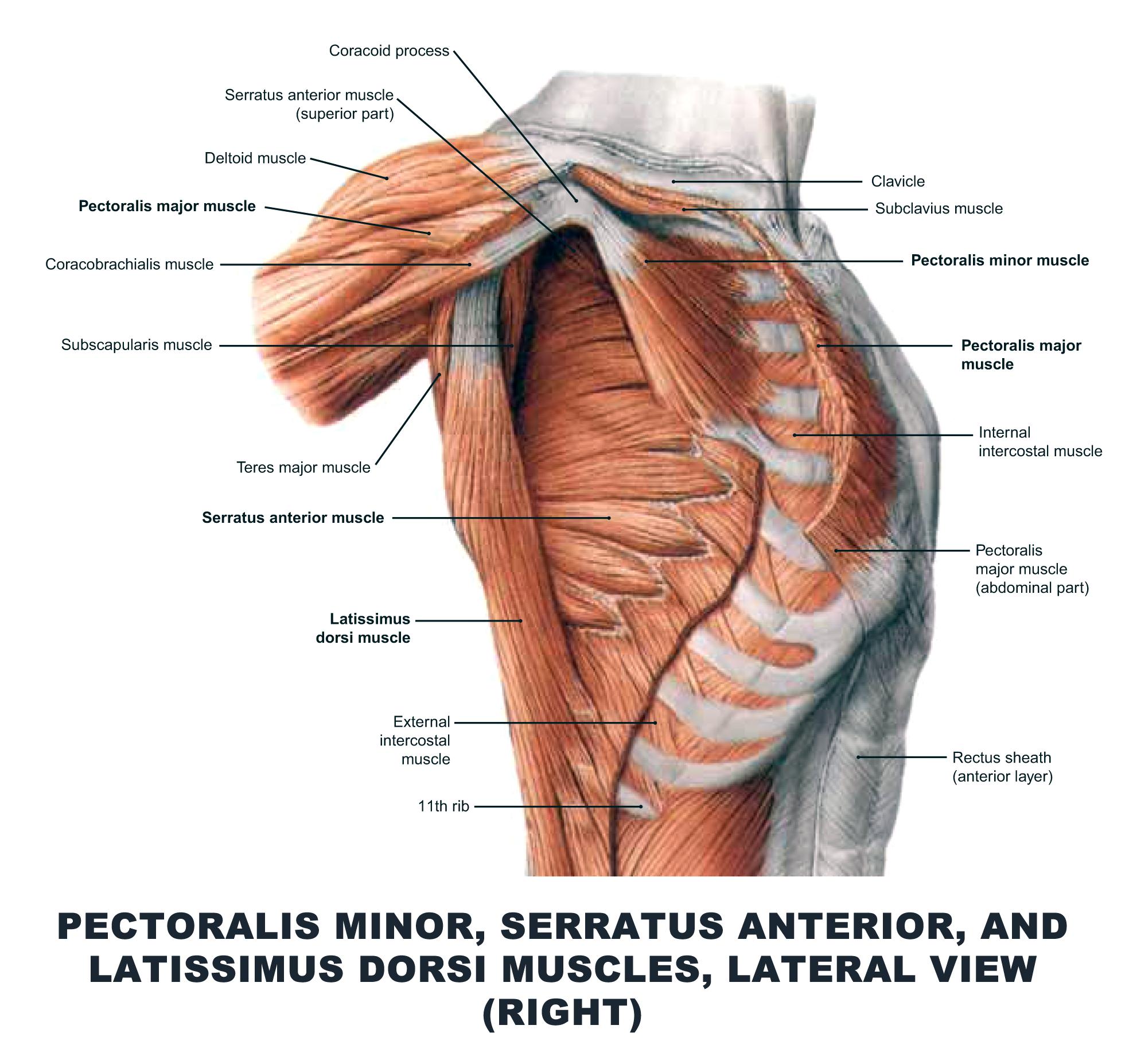 Pectoralis Minor, Serratus Anterior, and Latissimus Dorsi Muscles ...