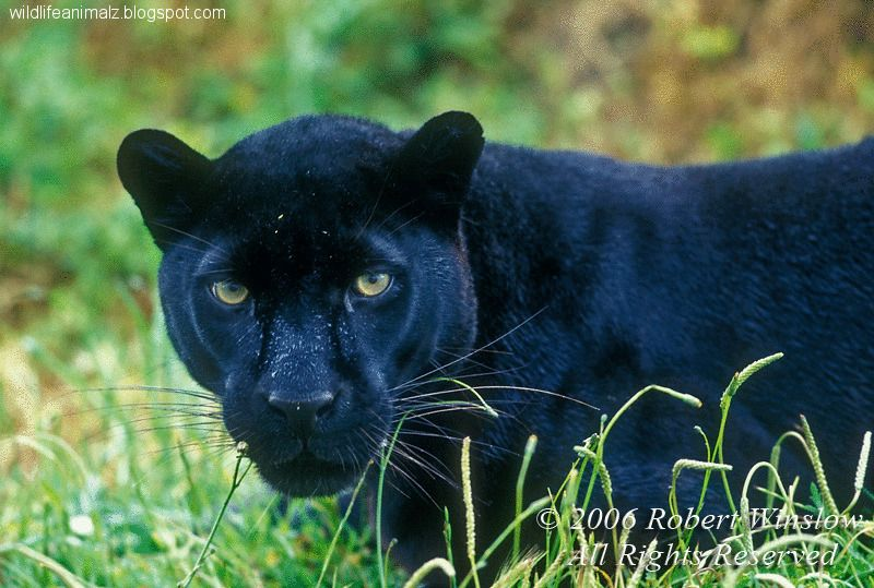 black puma vs black panther