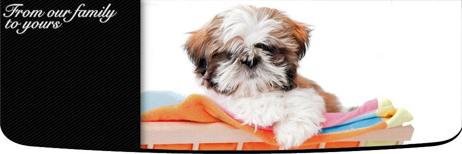 Shih Tzu Puppies For Sale In Pennsylvania Shih Tzu Dog Breeders