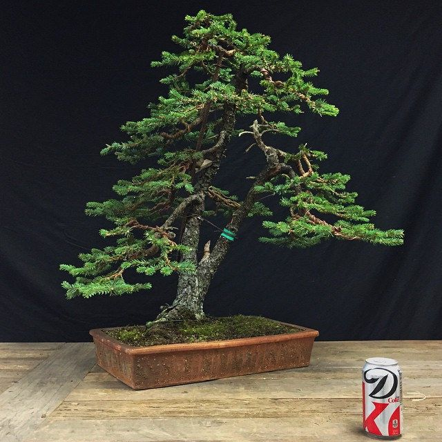 Second Wiring Of A Great Old Spruce Bonsai Three Years Into Renovating This Tree Which Had Been Neglected For Years It S Nice To Get Some Time To Work On My O Bonsai Art Bonsai
