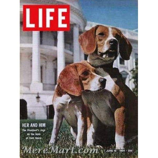 Life June 19 1964 Beagles Beagle Beagle Puppy Beagle Dog