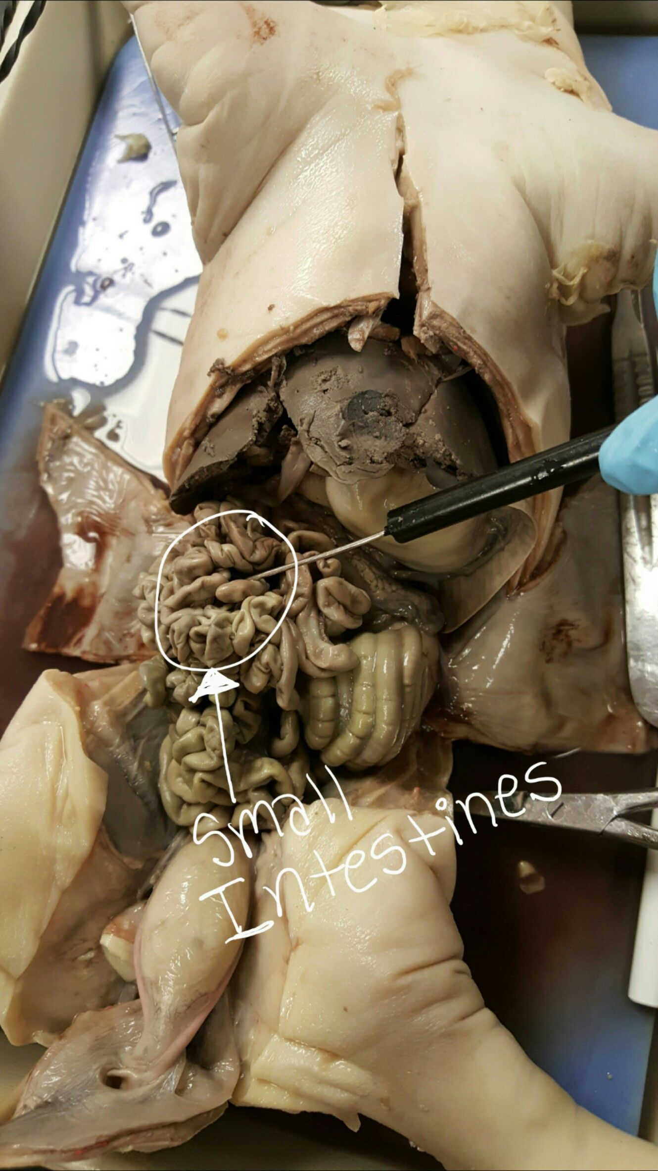 Fetal Pig Disection | Anatomy & Physiology | Pinterest