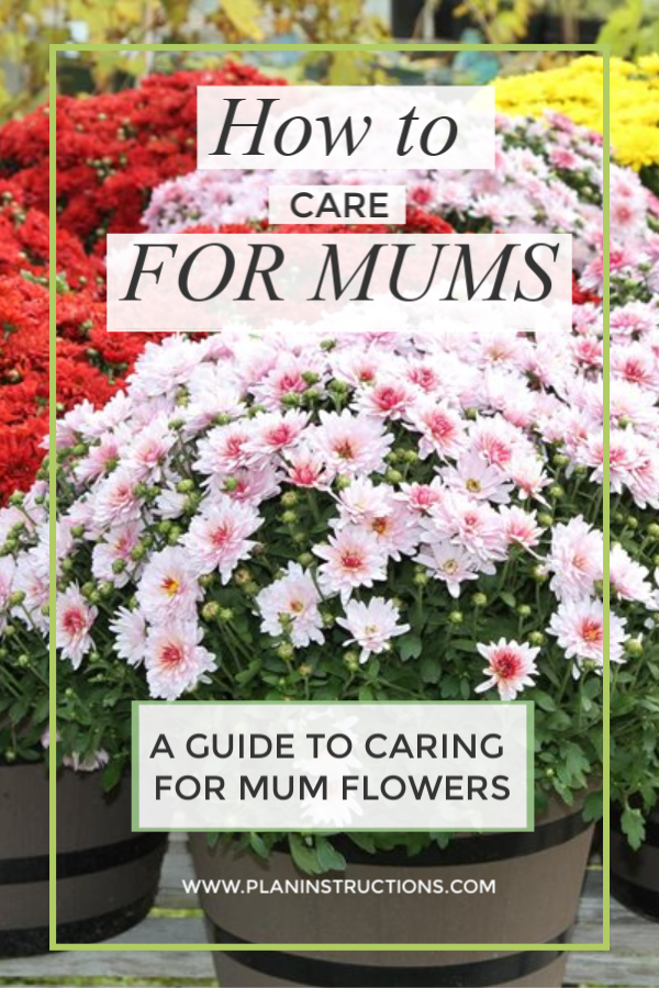 How To Care For Mums Caring For Mums Mums Flowers Flower Care