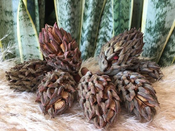 7 Magnolia Seed Pods, Magnolia Pods, Christmas Decorations, Natural Pods, Magnolia, Magnolia Dried Plants, Magnolia decor, Magnolia cone