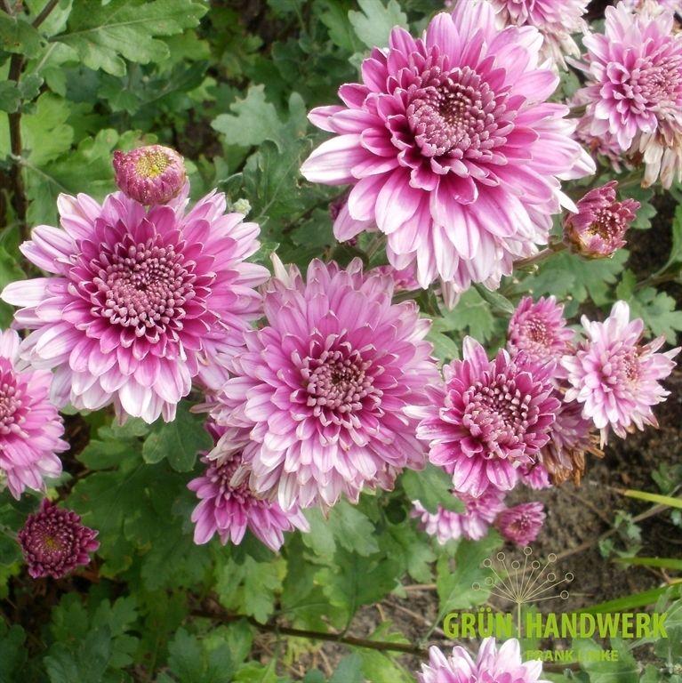 chrysanthemum x hortorum 39 herbstrose 39 chrysanthemen astern echinacea pinterest chrysanthemen. Black Bedroom Furniture Sets. Home Design Ideas