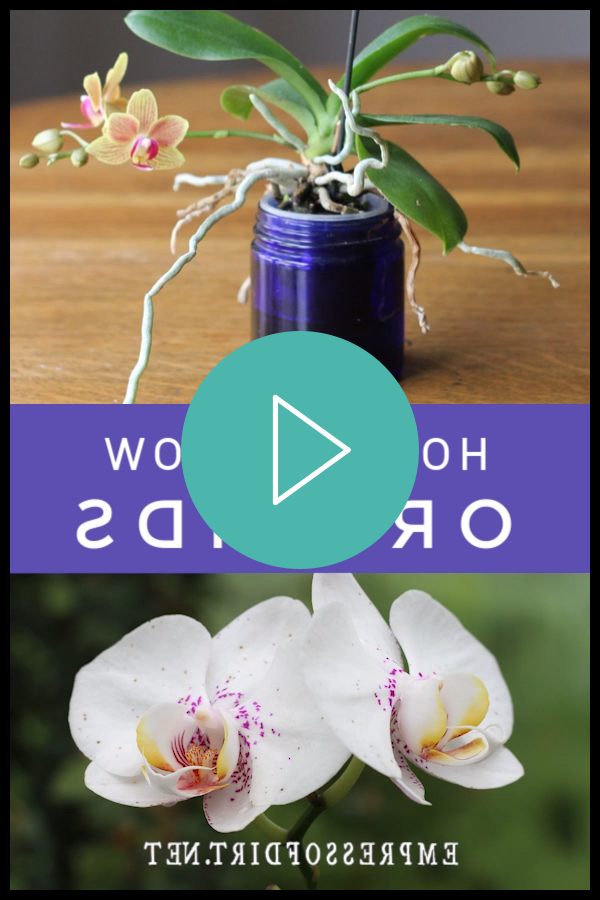 --Video Pin-- How to grow orchids as houseplants for beginners at home. Use these tips to get started growing orchids indoors. #growingorchids