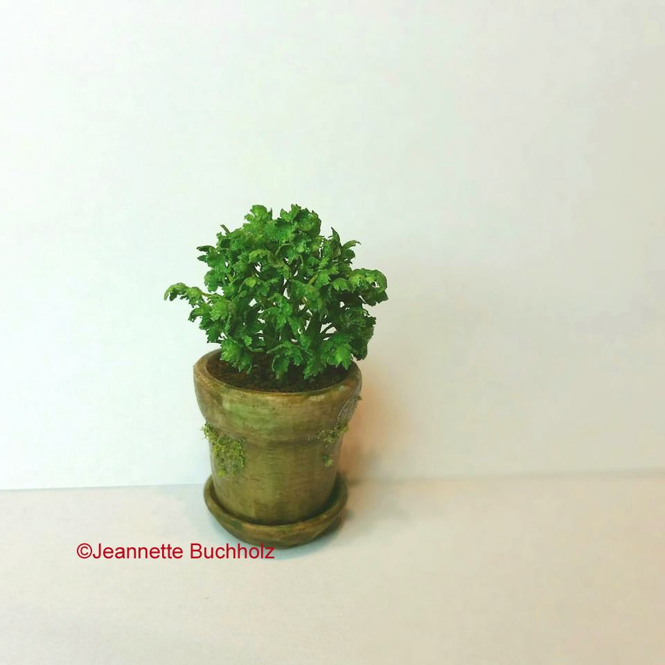 Parsley in a little pot ,fits great in the kitchen or on the potting table of the garden