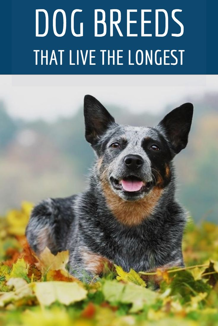 Bow Wow The Longest Living Dog Breeds Dog Breeds Dog Leash