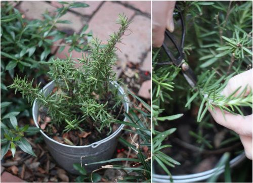 how to store rosemary cuttings