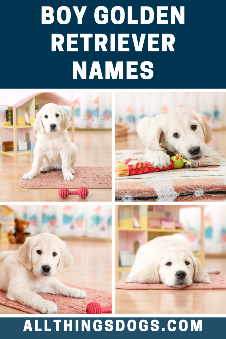 Little Golden Retriever Boys Are Amongst The Cutest And Most