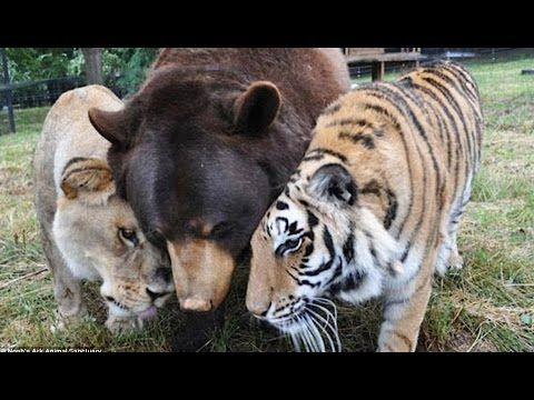 Belle Amitie Entre Tigre Ours Et Lion Zapping Sauvage Youtube Animaux Photo Animaux Animaux Insolites
