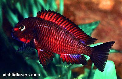 T Chimba Jpg 400 259 Fresh Water Fish Tank Aquarium Fish Cichlid Aquarium