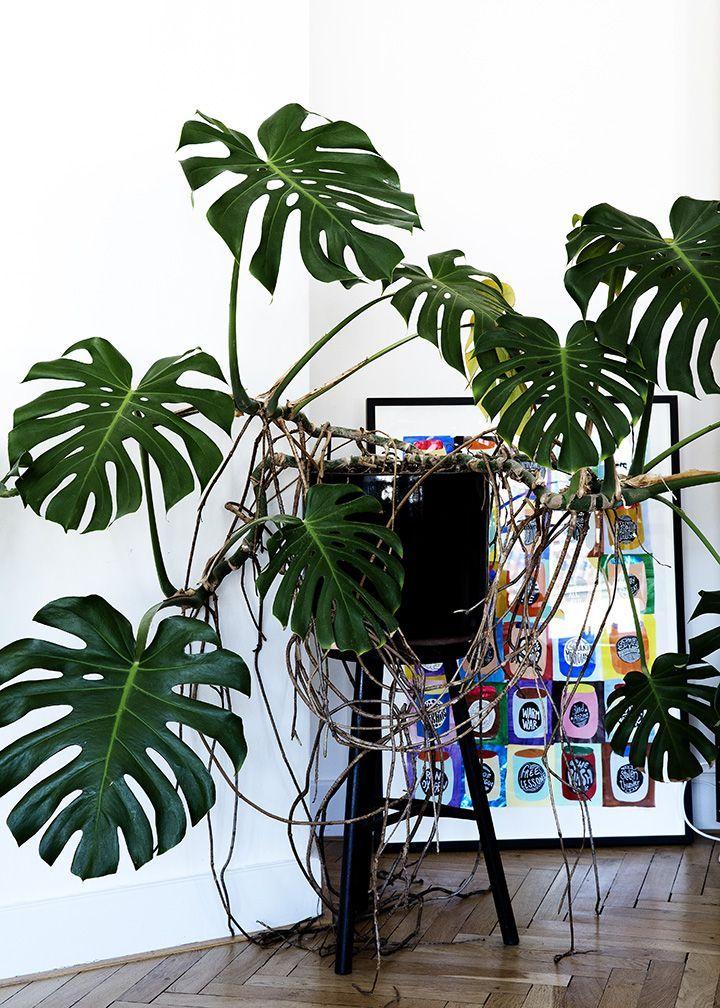 monstera deliciosa botanical and outdoor inspiration pflanzen garten zimmerpflanzen. Black Bedroom Furniture Sets. Home Design Ideas