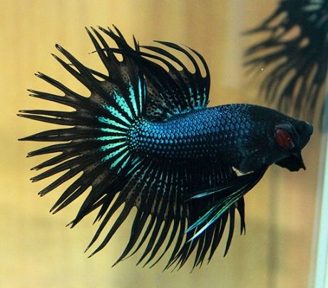 Black betta fish black orchid crowntail betta fish for Black betta fish for sale